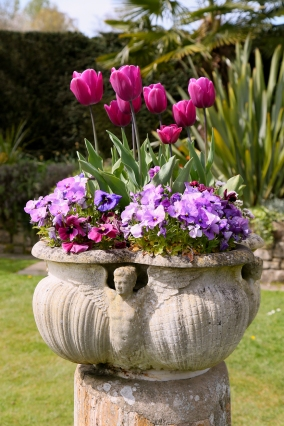 Tulips will be planted in tubs and pots as well as in the gardens at Hever Castle