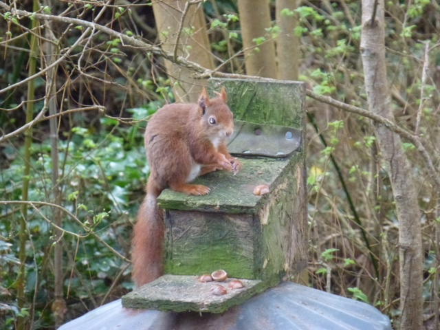 Red Squirrel at Abbey Garden, Tresco Island Copyright Jean Griffin