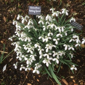 "Galanthus ""Nothing Special"""
