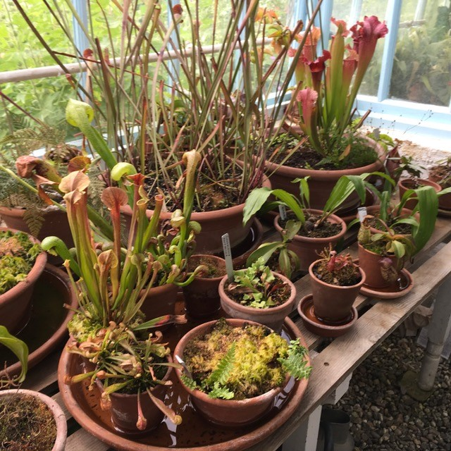 Insectivorous plants at Down House